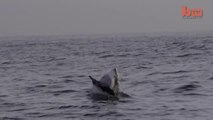 Flying Shark- Great White Breaches Off South Africa's Coast