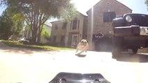 Chasseur de voiture télécommandées : ce Bulldog anglais adore les courser!