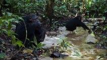 Chimpanzee _Savor the Flavor_ Clip