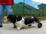 Basset artésien paralysé  ( chien paralysé )