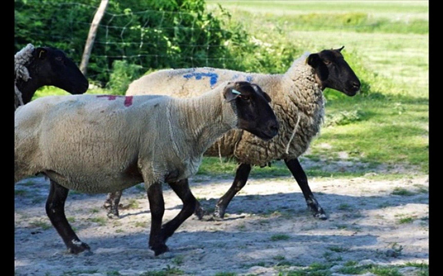 AOC AOP agneaux pres sales du mont saint michel