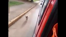 Un chien poursuit l'ambulance qui transporte son maître malade!