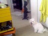 Bichon Frise Puppy 4months old Barking