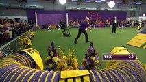 Tex, chien champion d'agility surpasse ses adversaires de très loin!
