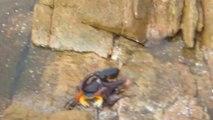 Un poulpe attaque un crabe pour le dévorer!