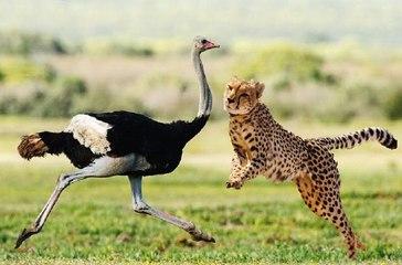Cheetah kills an ostrich