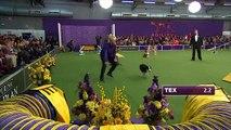 La course d'agility très rapide de Tex (Masters Agility Championship)