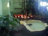 a group of red Flamingoes in winter Japanease Zoo Video pet bird animals safari amazon africa