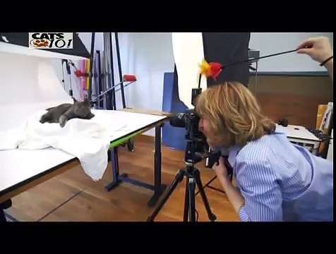 CATS 101 – British Shorthair ENG