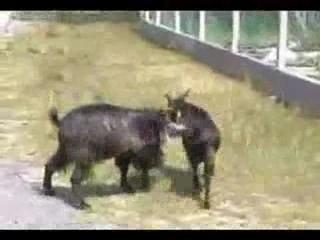 Gangster goats