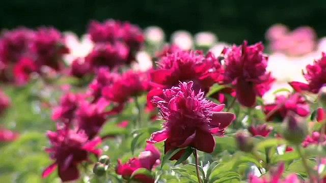 De Pivoine Flora Collectie