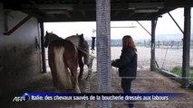 Sauvés de la boucherie, des chevaux trouvent une seconde vie