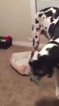 Giant dog Vs. Little bed… Hilarious pet!