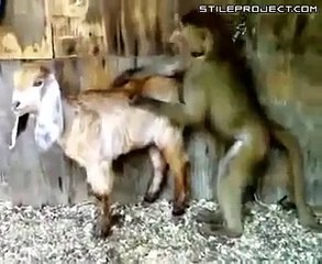 YouTube - Monkey and Goat very very funny sexy