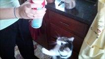 Ces chats adorent la crème chantilly {cute}