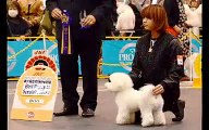 2013 Japan dog Festival IN Intex Osaka bichon frise bitch review