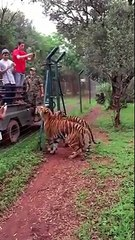 Huge Flying Jump By Tiger