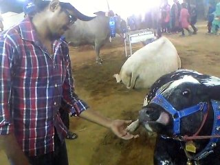 cow fun with Abdul Arham