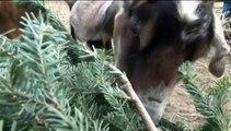 Des chèvres pour recycler les sapins de Noël aux Etats-Unis