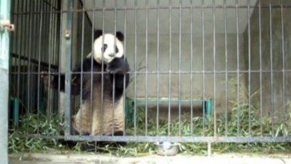 Three giant pandas down with disease