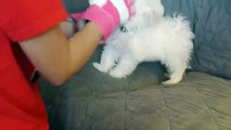 Cute Maltese puppy dog barking and playing with glove things Plainfield puppies funny videos _ Tune.pk