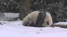 Bao Bao découvre la neige pour la première fois de sa vie