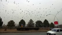Today dated 12 - 01 - 2015 very beautiful seen Crows keep running in circles with crows following them in Fatima Jinnah Park F-9 Islamabad.  By pccnn ( Chaudhry Ilyas Sikandar )