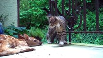 ---Kitten excited to see baby deer on the front porch