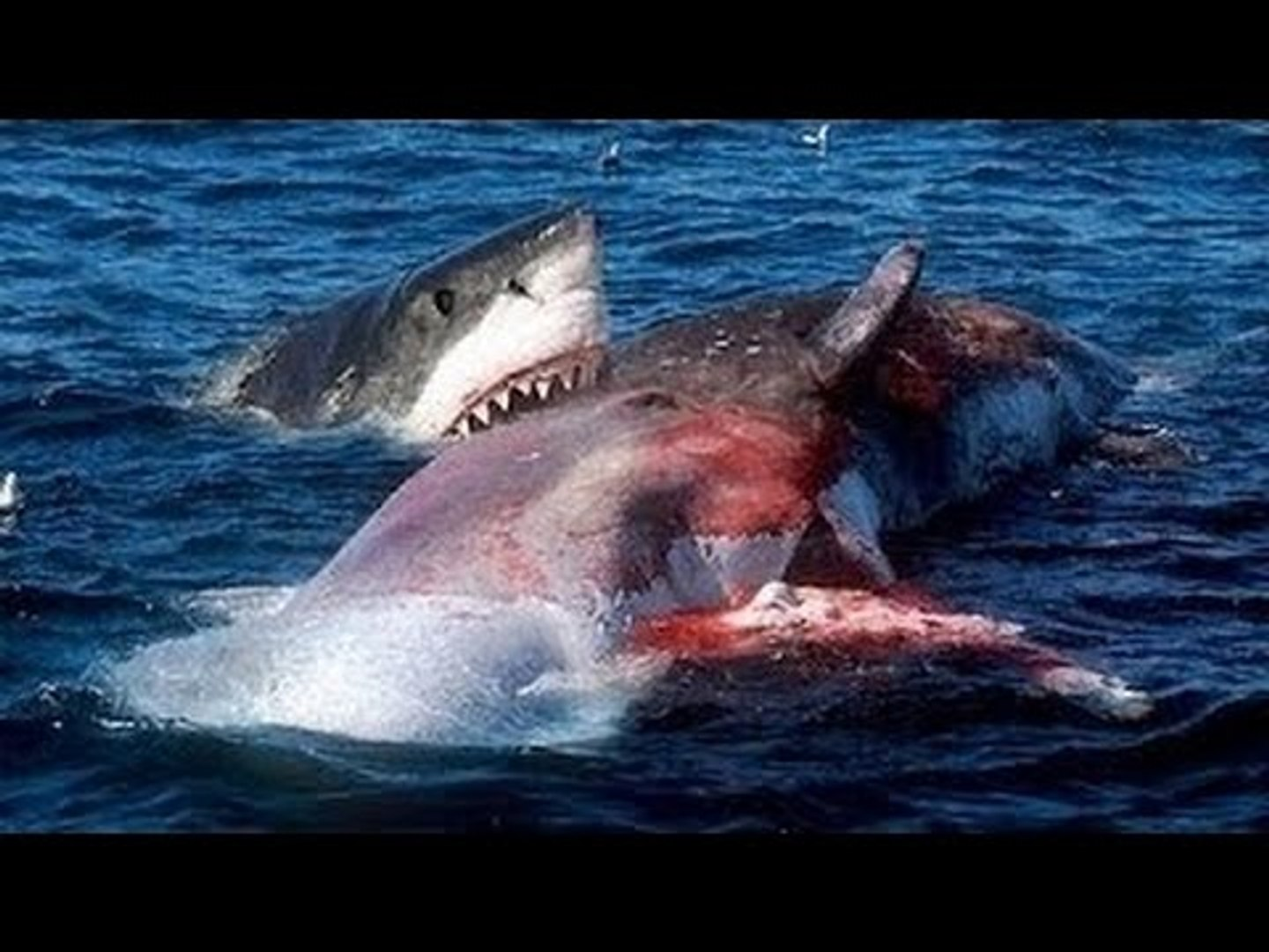 Killer Whale Vs Great White - Orca Kills Shark and Wins Fight [Nature Documentary]