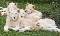 Royal Family: White Lions Roar (Wildlife Documentary)