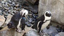 African penguins chill out on the rocks at San Diego Zoo