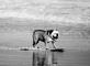 Skimboarder Dog