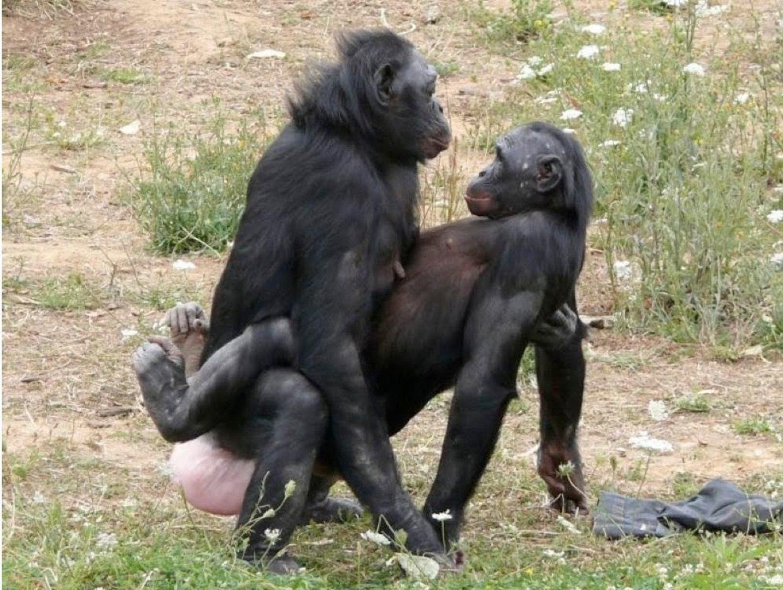 Animal Sec Movies bonobo ape - our closest relative (nature documentary)