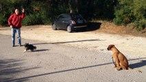 Dressage canin la ciotat 13,Education canine Exercice pas bouger sur un boxer de quatre mois  à la ciotat