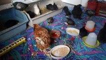 2013 : installation d'urgence pour accueillir poules s'occupant de poussins sauvés ou pas