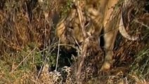 Lions Documentary: Lion Vs Cheetah - Bloody & Crazy War (National Geographic)