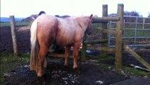 Maxie Quarter Horse, tail brush & leading: HOLLYMOON PEPI McCUE, 2012 Palomino QH filly