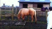 Maxie Quarter Horse walks the door: HOLLYMOON PEPI McCUE, 2012 palomino QH filly