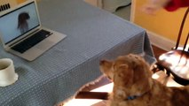 Un chien regarde la vidéo du chien qui joue avec un jouet qui couine!