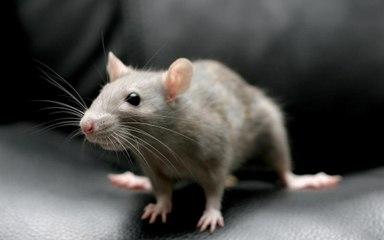 HORREUR : un enfant torture une souris vivante