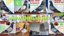 Hodowla Kulbacki, Najlepsze golebie sportowe w Polsce, RACING PIGEON STUD, golebie pocztowe!