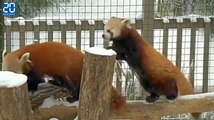 Les Pandas roux de New York s'amusent dans la neige après la tempête