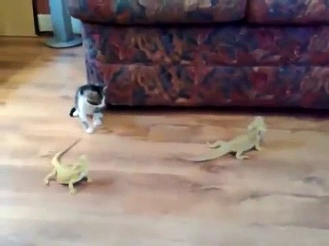 Kitten vs Lizard - just awesome ! very funny !