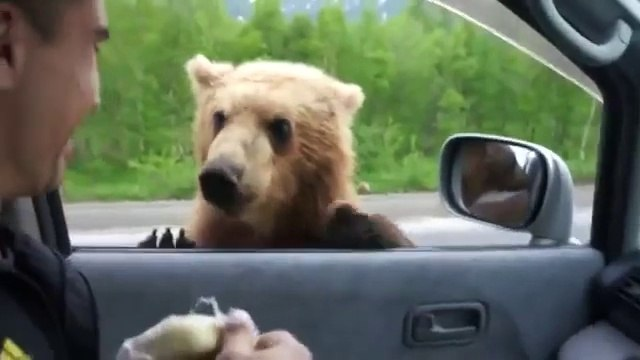Bear cubs begging on the road in Russia - DON'T do that, it can be fatal!