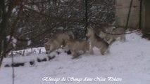 Chiots Huskys dans la neige - Elevage Husky du Songe d'une Nuit Polaire