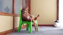Un chat qui s'asseoit comme un humain sur une chaise