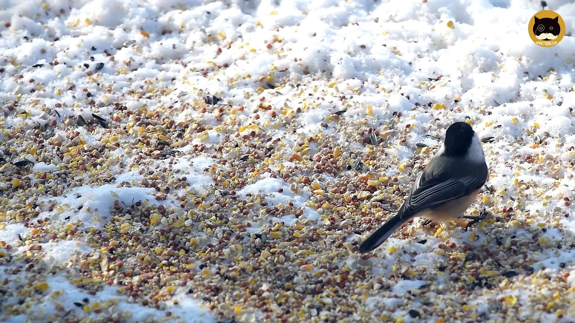 ENTERTAINMENT VIDEO FOR CATS. Winter Birds #2. Sparrows, Mourning Doves, Finches, Chickadee.