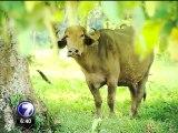 Costa Rica se convierte en territorio de búfalos