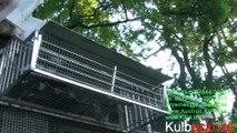KULBACKI, IRELAND DUBLIN PIGEONS TRANSPORT KULBACKI RACING PIGEON STUD- Hodowla Gołębi Sportowych!