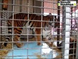 VIDEO. La dresseuse de tigres du cirque Medrano à Blois